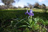 pic of purple iris  - Purple Iris flower bloom found on a plant growing wild - JPG