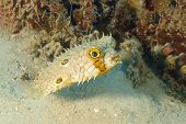 Web Burrfish Swimming Next To A Patch Of Coral Reef