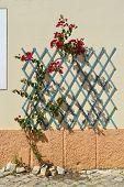 Bougainvillea spectabilis flowering outside in Portugal