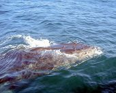 Humback Whale With Barnacles