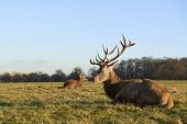 Two red deer lying in autumnal park in late afternoon light.