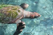 pic of terrapin turtle  - a picture of a swimming sea turtle out in the wild - JPG