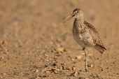 Willet Calling Loudly