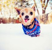 a cute chihuahua in the snow wearing a knitted sweater on a cold winter day