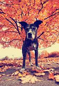 a senior pit bull in a park during fall toned with a retro vintage instagram filter effect