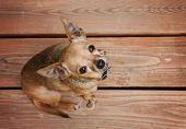 picture of pooch  - a cute chihuahua sitting on a deck during summer time - JPG