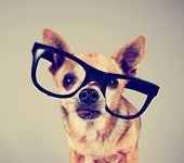 smart chihuahua wearing glasses toned with a retro vintage instagram filter effect
