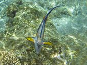 Shohal Surgeon Fish (acanthurus Sohal)