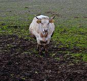 Bull Standing