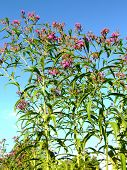 Ironweed Wildflower in Early Autumn