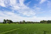Green Rice Field With Beauty Sky In Thailand