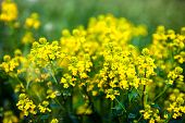 Yellow Rapeseed Flowers (brassica Napus)