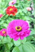stock photo of zinnias  - pink zinnia flower in the garden on daytime - JPG