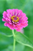 foto of zinnias  - pink zinnia flower in garden under sunshine