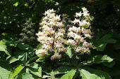 image of chestnut horse  - Horse chestnut flowers at spring time - JPG