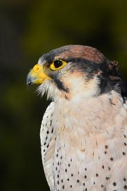 image of falcons  - Side view of a lanner falcon - JPG