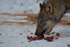 pic of lupus  - Close up of an european grey wolf  - JPG