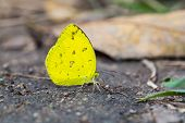 image of common  - Close up of Large Grass Yellow or Common Grass Yellow  - JPG