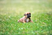 foto of belgian shepherd  - young puppy belgian shepherd malinois in field - JPG