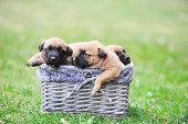 picture of belgian shepherd  - young puppies belgian shepherd malinois in box - JPG