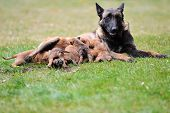 stock photo of belgian shepherd  - female dog of belgian shepherds malinois with puppies - JPG