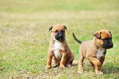 foto of belgian shepherd  - young puppies belgian shepherd malinois in field - JPG