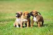 image of shepherds  - young puppies belgian shepherd malinois in field - JPG