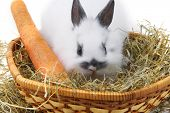 image of midget  - small rabbit with carrot isolated on white background - JPG