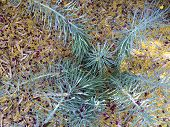 stock photo of oleander  - Narow Leaf Chackstiks or Senecio Vitalis covered with Palo Verde and Oleander flowers and leaves after Spring wind outbreak - JPG