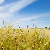 stock photo of fall-wheat  - A wheat field and blue cloudy sky - JPG