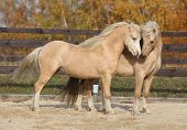 image of stallion  - Two amazing palomino stallions playing together in autumn welsh mountain pony and welsh pony of cob type - JPG