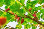 stock photo of mulberry  - Fresh ripe mulberry berries on tree  - JPG