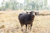 picture of cape buffalo  - buffalo beautiful in wide field and sunlight of thailand - JPG