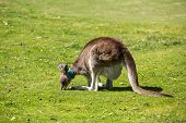 foto of kangaroo  - Wild kangaroos seen on a field near Melbourne - JPG