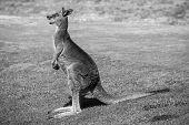 picture of kangaroo  - Wild kangaroos seen on a field near Melbourne - JPG