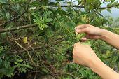 pic of honeysuckle  - young woman hands picking honeysuckle flowers on tree - JPG