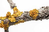 pic of lichenes  - Lichen on a tree branch isolated on white background - JPG