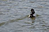 stock photo of common  - Male Common Goldeneye Swimming in the Lake - JPG