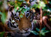 Retrato de un tigre en arbustos.