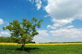 Lone Tree In A Field