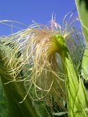 Corn In The Field With Golden Fringe