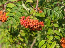 foto of mountain-ash  - Mountain ash Rowan Sorbus tree with ripe berries macro selective focus shallow DOF - JPG