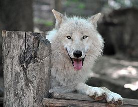 pic of white wolf  - Detailed view of animals  - JPG