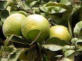 Or Yehuda Ripening Oranges 2010