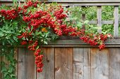 Red Pyracantha Berries Fence Close