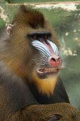 Mandrill, Monkey