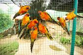 Постер, плакат: Sun conure parrots in aviary