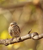 Female House Finch, Carpodacus Mexicanus