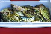 Black Crappies