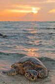 Sea Turtle During Sunset